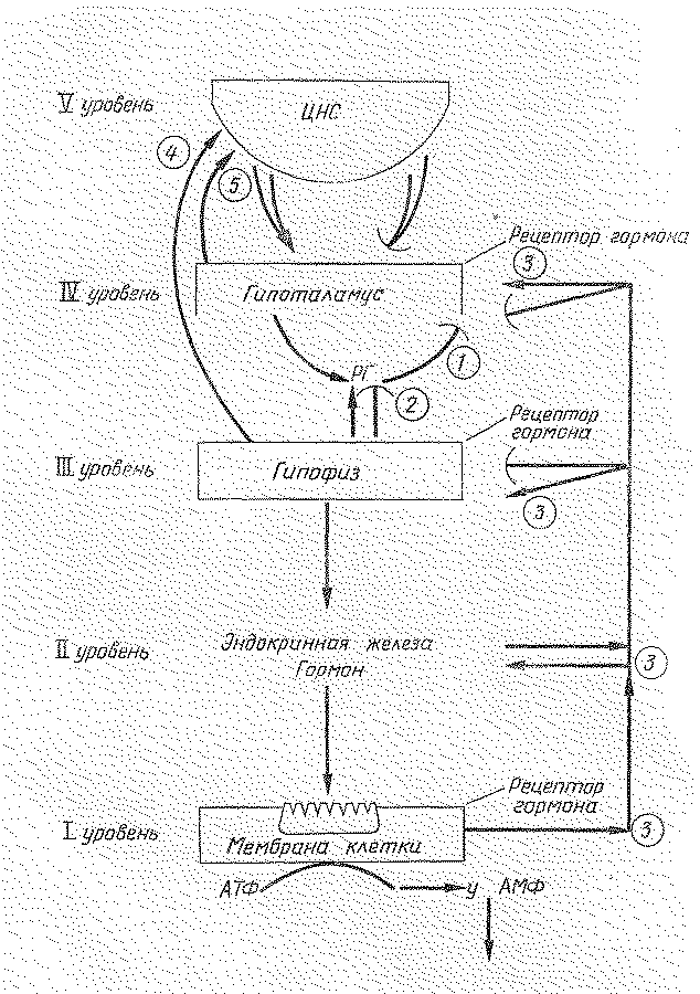 структур гипоталамуса,